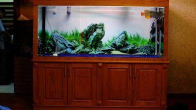 Photo of Bể cá rồng gỗ Sồi nuôi quá bối