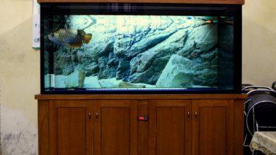 Hình ảnh bể cá rồng gỗ xoan