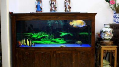 Photo of Bể cá rồng ốp gỗ cẩm thị