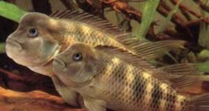 Hình ảnh cá ali đầu trâu