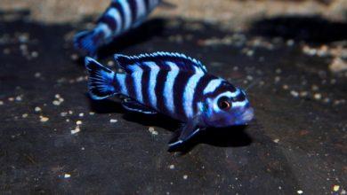 Hình ảnh cá ali Demasoni
