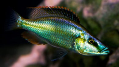 Photo of Cá cảnh nước ngọt: cá Ali Mặt Ngựa Malawi- Compressiceps Cichlid- Dimodiochromis