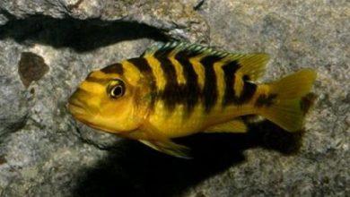 Hình ảnh cá Ali Ong Vàng