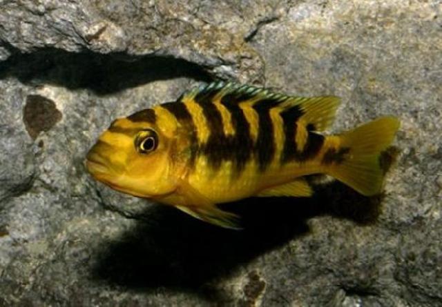 Cá Ali Ong Vàng từ châu phi