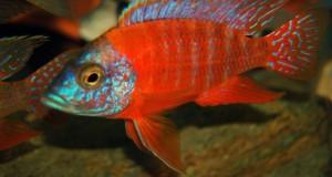 Hình ảnh cá ali Peacock đỏ