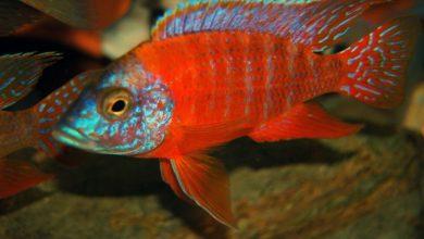 Photo of Cá cảnh nước ngọt: cá Ali Peacock đỏ – Red Peacock Cichlid- Auloncara sp