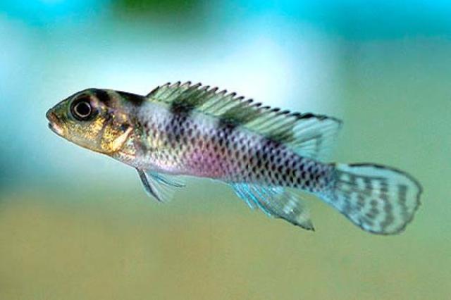 Vẻ đẹp rực rỡ của cá Ali Thằn Lằn