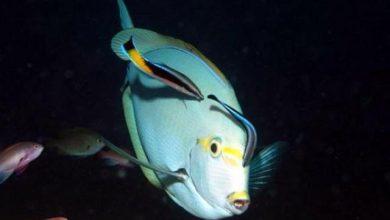 Photo of Cá cảnh biển: cá Bác Sĩ- cá Vệ Sinh- Cleaner Common Wrasse- Labroides dimidiatus