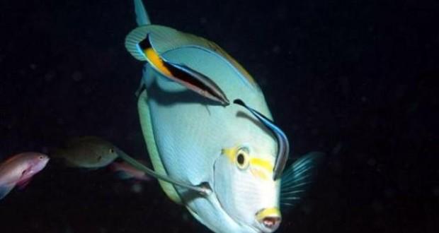 Hình ảnh cá bác sĩ
