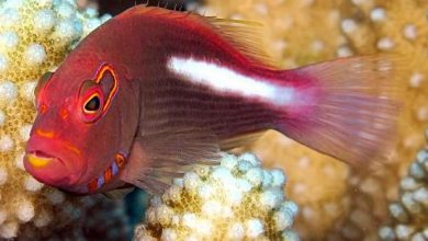 Photo of Cá cảnh biển: Cá Bống Hồng – Paracirrhites Arcatus
