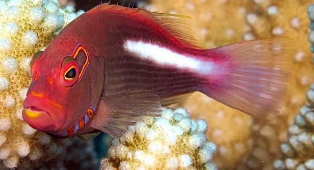 Thiên thần của rạn san hô