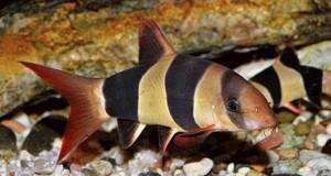 Hình ảnh cá Chuột Mỹ