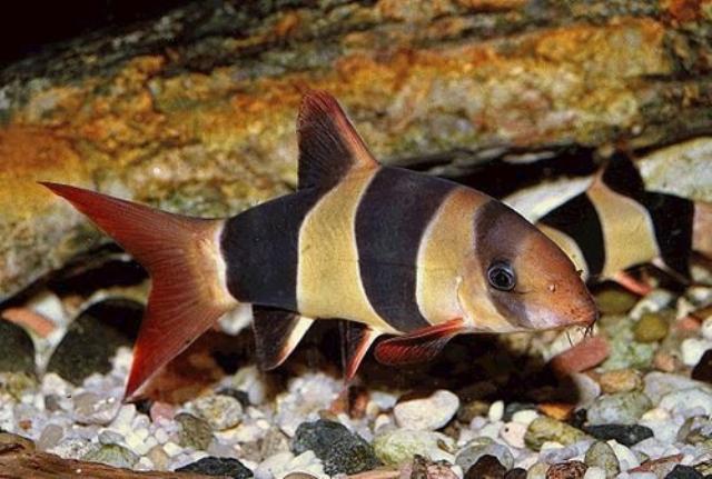 Cá Chuột Mỹ sẽ rất đẹp nếu nuôi theo đàn