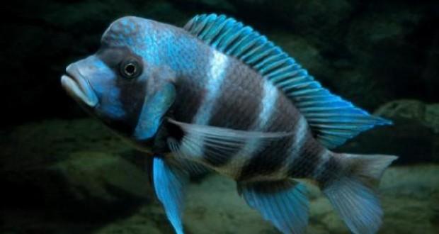Hình ảnh cá đầu bò