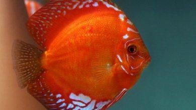 Hình ảnh cá đĩa đỏ Malboro