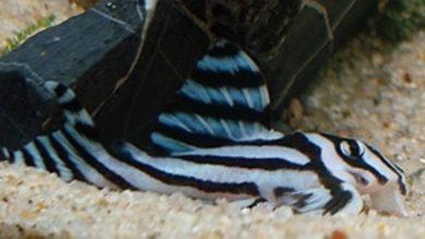 Photo of Cá cảnh nước ngọt: Cá Dọn Bể Ngựa Vằn – Zebra Pleco – Hypancistrus zebra