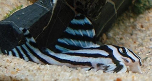 Cá dọn bể ngựa vằn thích hợp bể thủy sinh