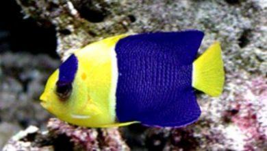 Photo of Cá Hà Mỹ Nhân- cá Thần Tiên Hai Màu- Bicolor Angelfish- Centropyge bicolor
