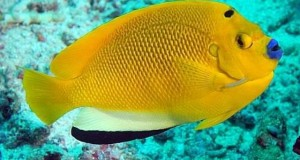 Hình ảnh cá Hoàng Yến