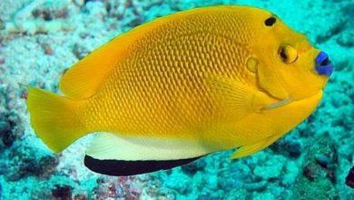 Photo of Cá cảnh biển: Cá Hoàng Yến- Flagfin Angelfish – Apolemichthys trimaculatus