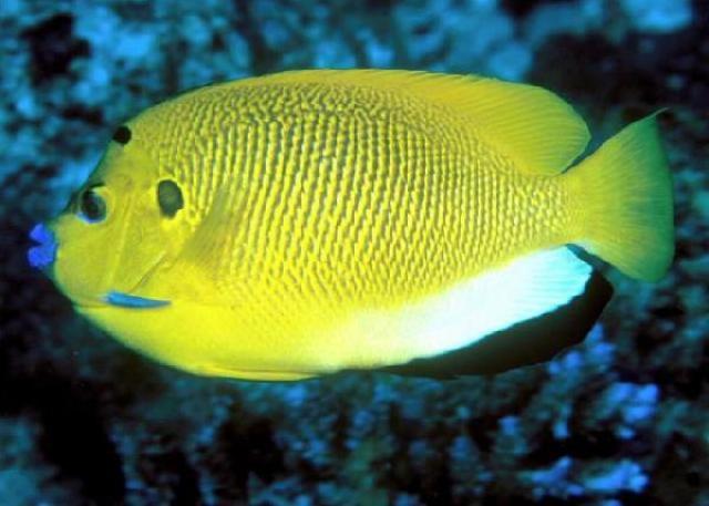 Cá Hoàng Yến không thích hợp nuôi trong bể San Hô