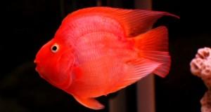 Hình ảnh cá Hồng Két