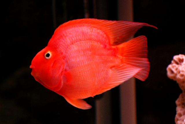 Cá Hồng két thích hợp thả bể cá ăn mồi, bể cá rồng