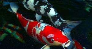 Hình ảnh cá Koi Nhật