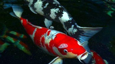 Photo of Cách phân biệt cá Koi xịn và cá Koi dởm
