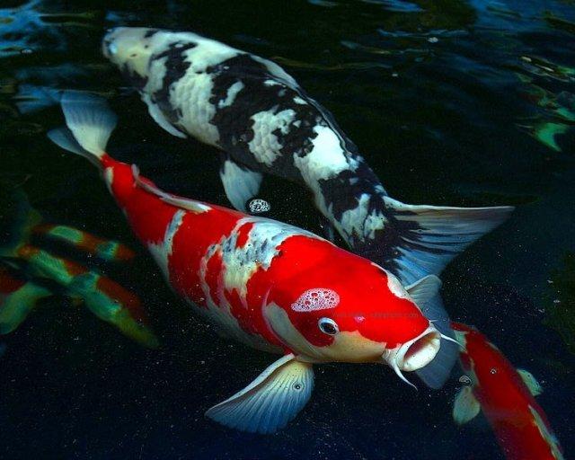 Hình ảnh những chú cá Koi Nhật xịn