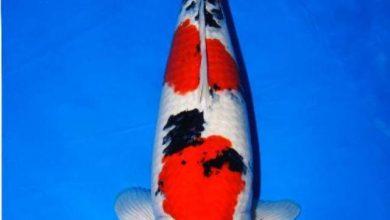 Photo of Cá cảnh nước ngọt: Cá Koi Sanke – Sanke High Quality Koi – Cyprinus carpio