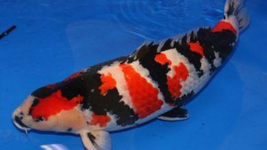 Photo of Cá cảnh nước ngọt: cá Koi Showa – Showa Hight Quality Koi – Cyprinus