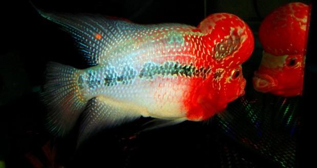 Hình ảnh cá La Hán đẹp