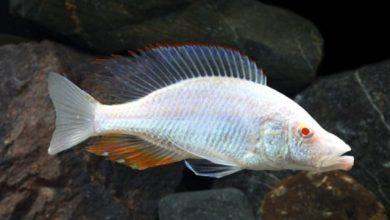 Photo of Cá cảnh nước ngọt: cá Ali Mặt Ngựa Bạch Tạng – Compressiceps Albino Cichlid- Dimidiochromis compressiceps