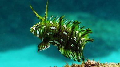 Photo of Cá cảnh biển: cá Mó Mèo- cá Rồng Biển- Dragon Warsse- Novaculichthys taeniourus