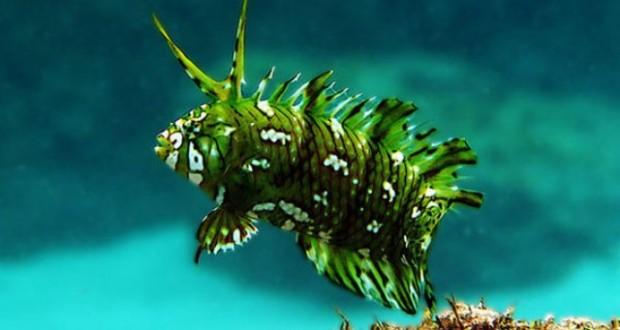 Hình ảnh cá mó mèo