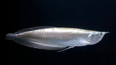 Photo of Cá ngân long- Silver Arowana- Osteoglossum bicirrhosum