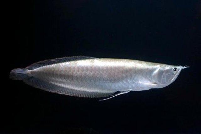 Cá Ngân Long rất mềm mại