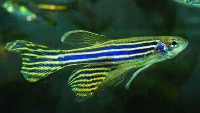 Photo of Cho cá Ngựa vằn sinh sản