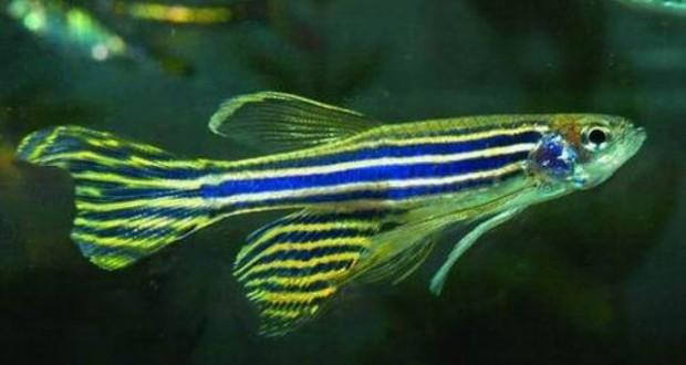 Hình ảnh cá Ngựa vằn