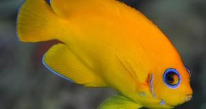Hình ảnh cá Sim Vàng