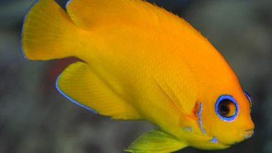 Photo of Cá cảnh biển: Cá Sim Vàng – Yellow Angelfish- Centropyge Heraldi
