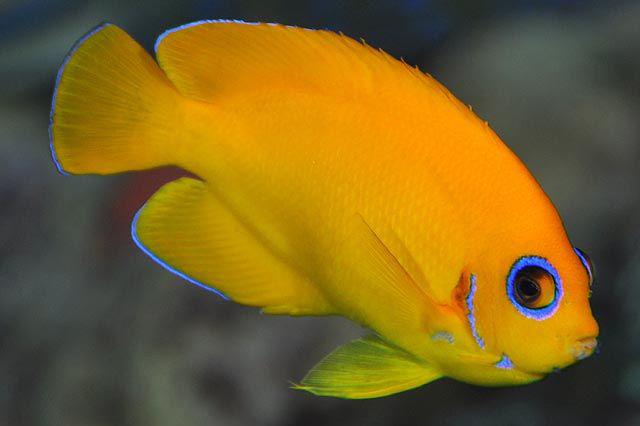 Cá Sim Vàng rực rỡ trong rạn san hô