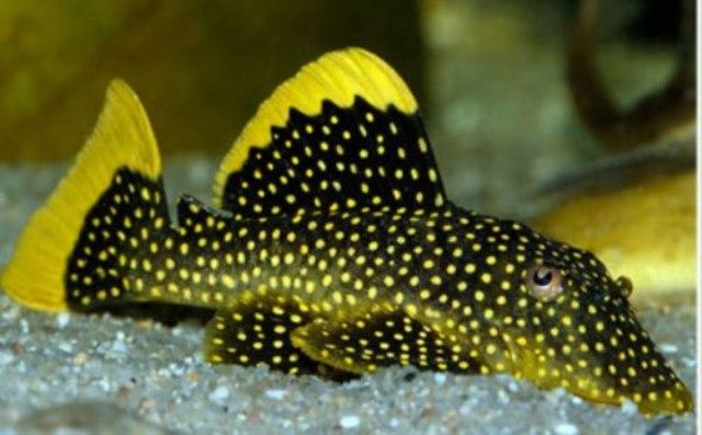 Cá tỳ bà đuôi vàng thích hợp bể nền tối