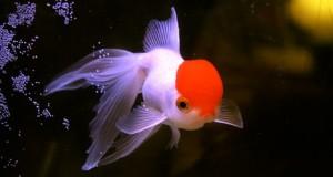 Hình ảnh cá vàng Bạch Đỉnh Hồng