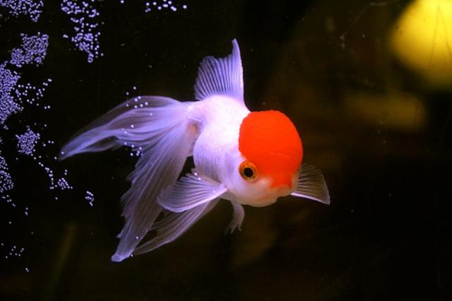 Cá Vàng Bạch Đỉnh Hồng được nhiều người yêu cá vàng biết đến