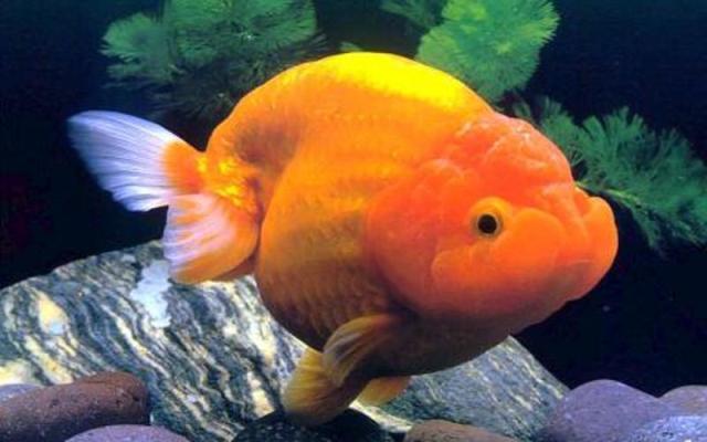 Cá vàng Ranchu không có vây lưng trên