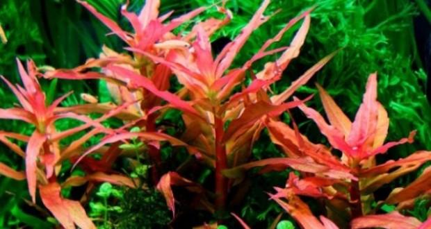 Hình ảnh cây thủy sinh hồng liễu
