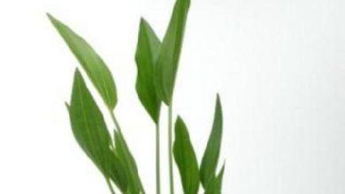 Photo of Cây thủy sinh: cây Lưỡi Mác- Amazon Sword Plant- Echinodorus amazonicus