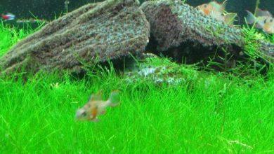 Photo of Cây thủy sinh: Cỏ ngưu mao chiên- Dwarf Hairgrass – Eleocharis acicularis